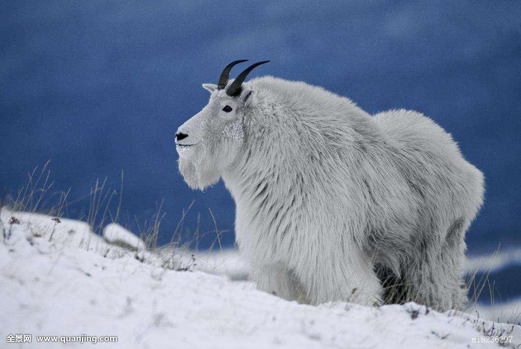 大寒雪中的羊1