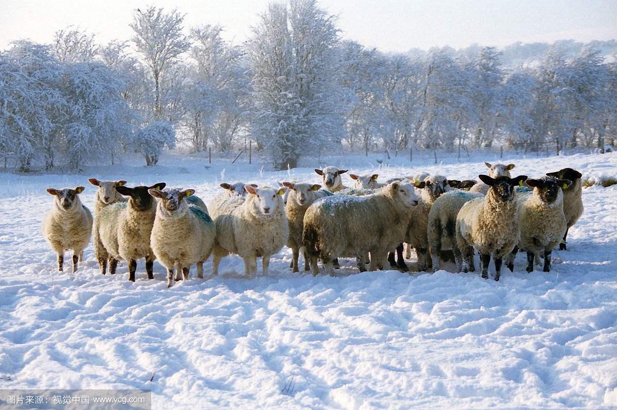 大寒雪中的羊2
