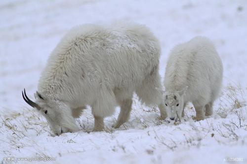 大寒雪中的羊3